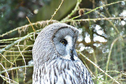 Owl, Snowy Owl, Bird, Feather, Animal, Plumage, Raptor