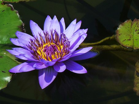 Water Lily, Pond Plants, Purple