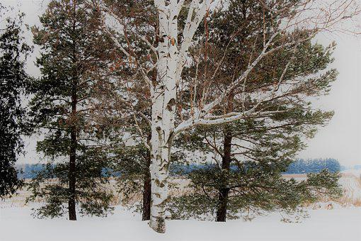 Birch Tree, Snow, Covered, Winter, Landscape