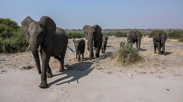 Elephant, Safari, Africa, Conservation Park, Botswana