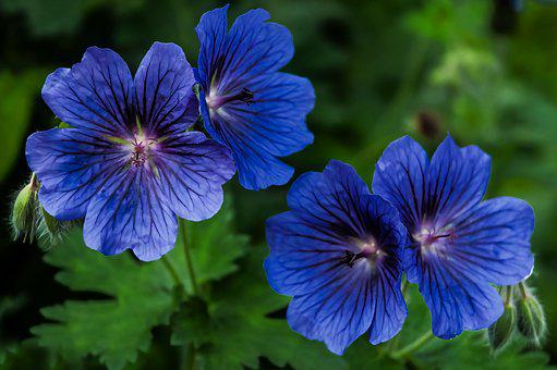 Plants, Geranium, Blue, Nature, Flower, Blossom, Bloom