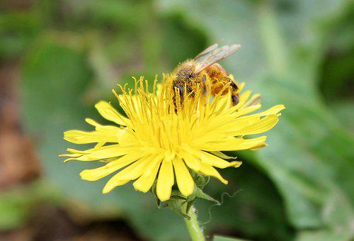 Bee, Honeybee, Dandelion, Honey, Insect, Nature, Yellow