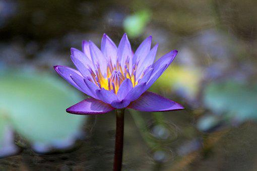 Water Lily, Flower, Water Plant, Lily, Bloom, Purple