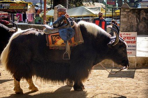 Manali, Himalayas, Yak, Cattle, Horns