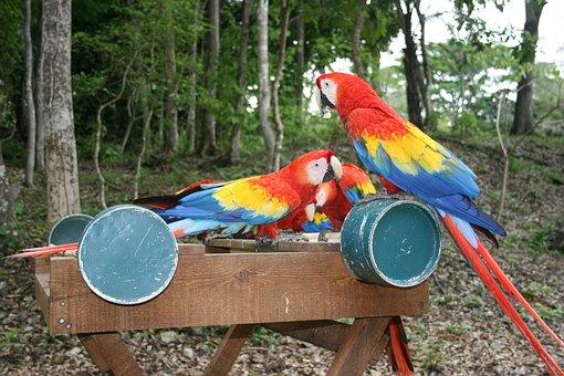 Parrot, Honduras, Central America
