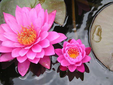 Lily Pad, Flower, Pink, Water, Nature, Pond, Plant