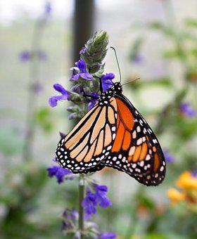 Monarch, Flower, Insect, Butterfly, Nature, Garden