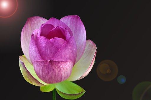 Nuphar Lutea, Water Lily, Aquatic Plant, Blossom, Bloom