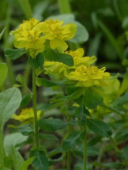 Multi Coloured Spurge, Spurge, Blossom, Bloom, Yellow