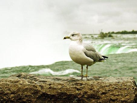 Canada, Niagara, Seagull, Vertigo, Vacuum, Bird, Danger