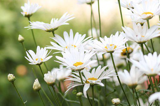 Flowers, Chamomile, Flower, Bloom, Wild, Focus, White