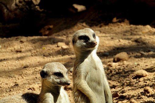 Suricate, Cute, Animal, Zoo, Fur, Look, Animals