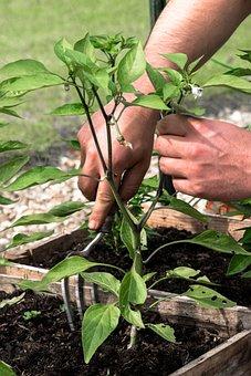 Gardener, Labor Work, Plating A Pepper, Digging Fork