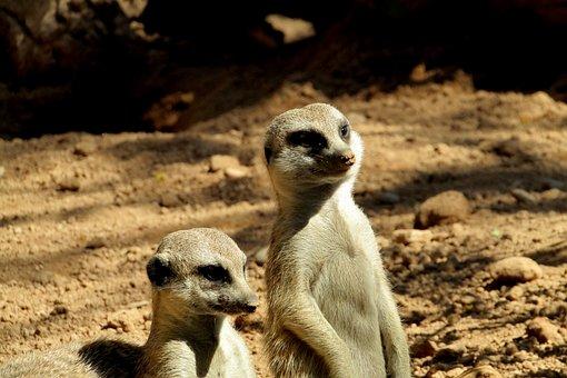 Suricate, Cute, Animal, Zoo, Fur, Look, Animals
