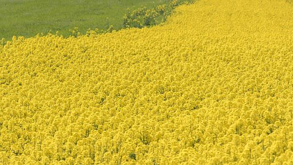 Rape Blossoms, Flowers, Spring, Yellow, Japan, Field