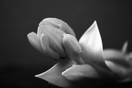 Black, Black And White, Botany, Dark, Flower, Low Key