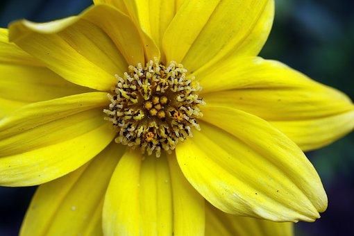 Bidens Frondosa, Yellow Flower, Measure, Stamens