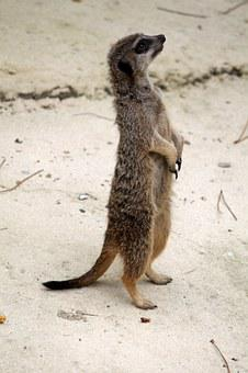 Suricate, Animal, Zoo, Cute, Standing, Fur, Animals