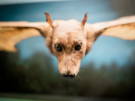 Flying Dog, Fledertier, Head, Eyes, Aethalops