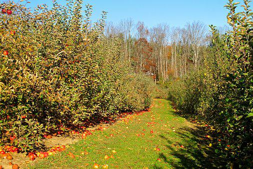 Orchard, Apple, Apple Orchard, Nature, Fruit, Food