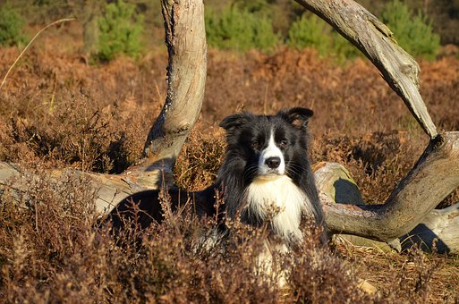Border Collie, Purebred Dog, British Sheepdog, Pet