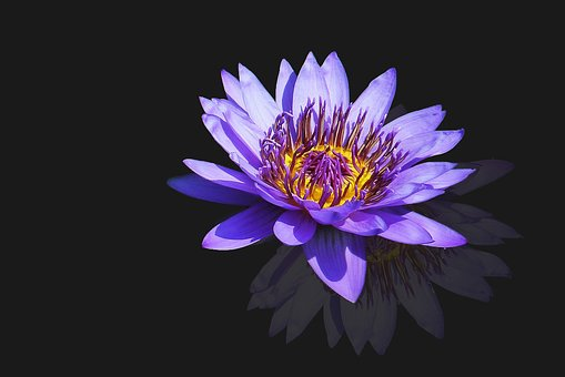 Water Lily, Nuphar Lutea, Blossom, Bloom, Purple