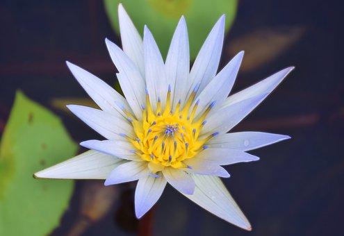 Water Lilly, White Water Lilly, Water Lilly With Yellow