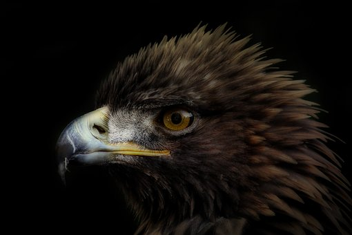 Bird, Adler, Bird Of Prey, Animal, Animal Portrait