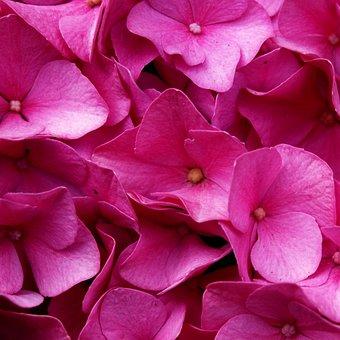 Hydrangea, Flower, Blossom, Bloom, Pink, Plant, Garden