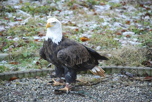 Bald Eagles, Raptor, Bird Of Prey, Bald Eagle, Fly