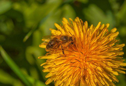 Bee, Flower, Dandelion, Plant, Insect, Nature, Blossom