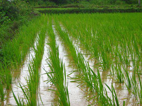 Rice Farm, Farming, Agriculture, Farm, Rice, Field