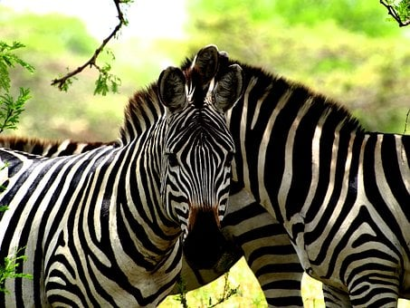 Zebra, Africa, Safari