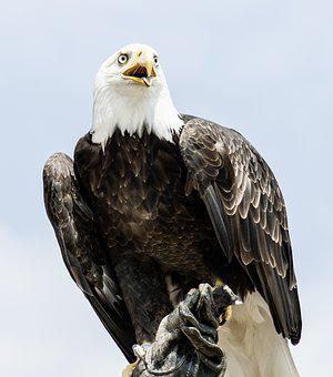 Adler, Animal, Bald Eagle, Bald Eagles, Bird