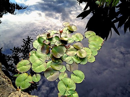 Lilly, Water, Botanical, Peaceful, Lotus, Outdoor, Calm