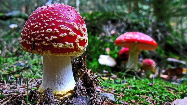 Fly Agaric, Mushroom, Forest, Nature