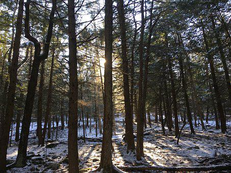Pine Trees, Sunlight, Shining, Pine, Forest, Nature