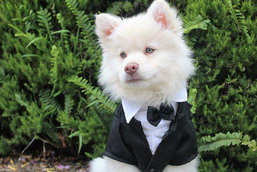Dog, Puppy, Tux, Cute, Summer, Cream, White, Smart