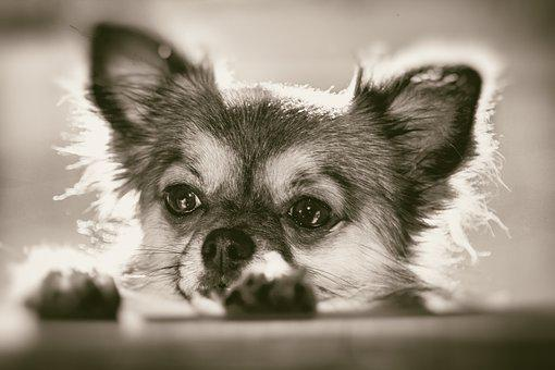 Chihuahua, Curious, Pet, Dog, Small, Face
