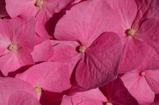 Hydrangea, Flower, Blossom, Bloom, Plant, Pink