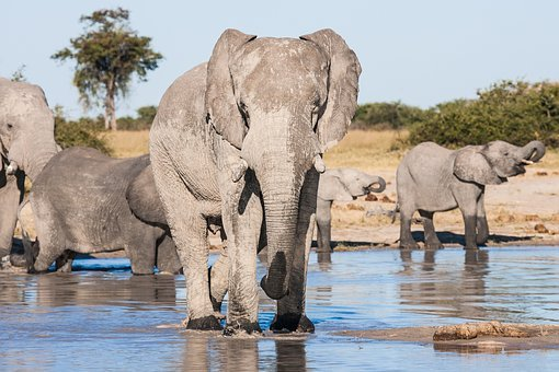 Botswana, Chobe Game Reserve, Drinking, Elephant