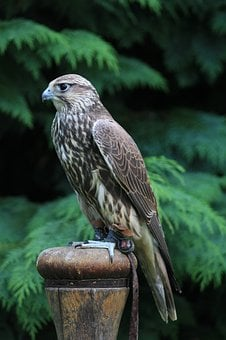 Falcon, Griffin, Bird, Nature, Plumage, Animal, Raptor