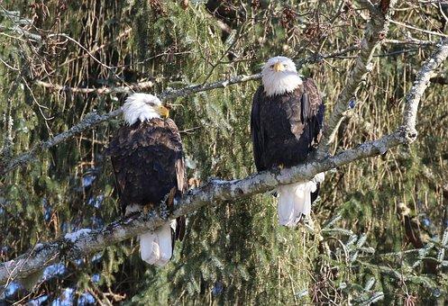 Eagle, Winter, Pair, Wildlife, Raptor, Bird, Nature