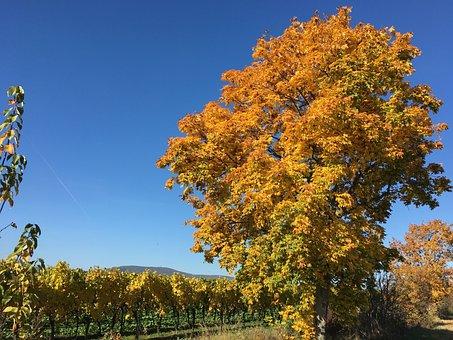 Vineyards, Autumn, Deciduous Tree, Bright