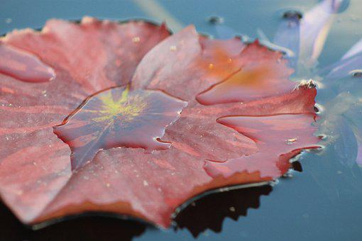 Water Lilly, Leaf, Water, Pond, Garden, Aquatic, Nature