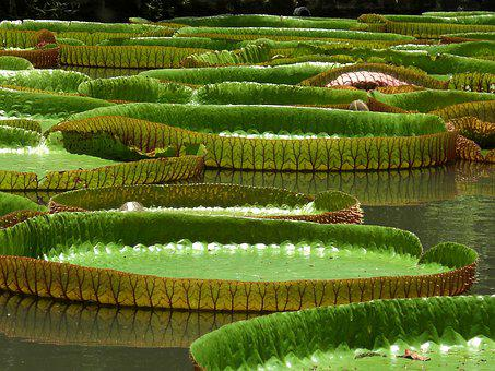 Water Lily, Victoria, Giant Water Lily, Aquatic Plants