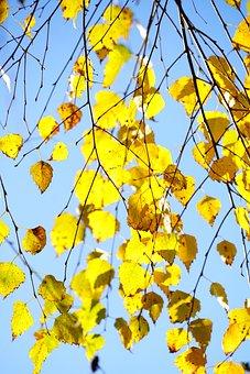 Hang-birch, Birch, Autumn, Leaves, Fall Foliage, Gold
