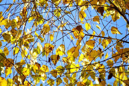 Birch, Autumn, Leaves, Fall Foliage, Gold, Yellow