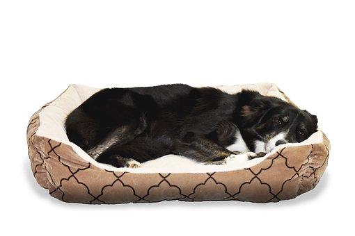 Dog, Pet, Bed, Animal, Border Collie, Sleep, Cute