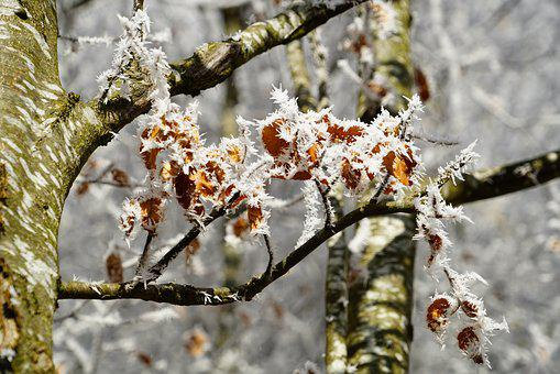 Beech Leaves, Eiskristalle, Crystals, Winter, Ice